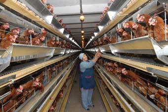 Серьезные проблемы пока что сохраняются в производстве птичьего и свиного мяса.