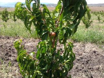 Первые плоды нектарина.