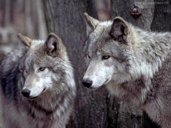 Нишу леопарда заняли волки