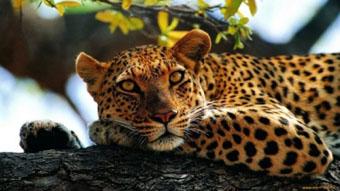 Браконьерская охота на леопарда привели к тому, что в дикой природе Армении  осталось всего 3-5 особей этой красивейшей кошки.