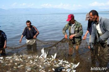 Помимо сига уменьшились популяции и других видов рыб, в частности, севанской форели.